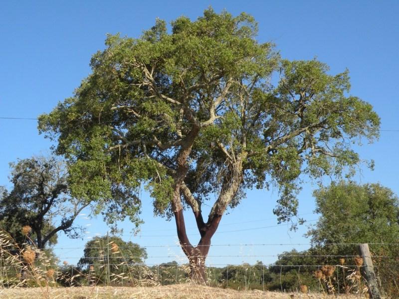 Portogallo - Sughero pianta da giardino ...